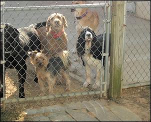 Dogs at play at Mystic Pet Resort